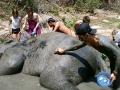 Elefantes Chiang Mai (95)