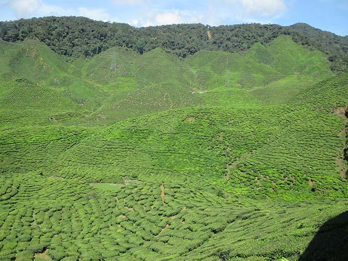 Qué-hacer-en-Cameron-Highlands-de-Malasia-26