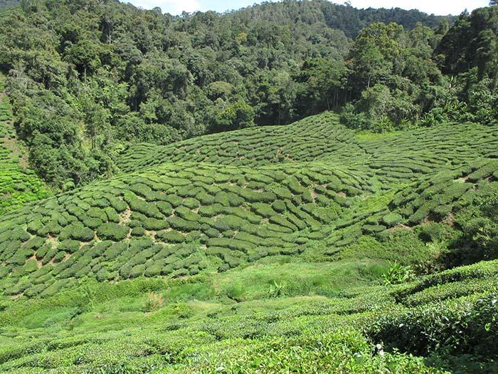 Qué-hacer-en-Cameron-Highlands-de-Malasia-4