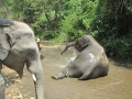 Elefantes Chiang Mai (56)